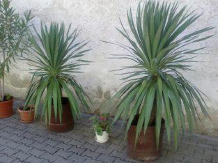 Plante ornamentale ptr.amenajari exterioare (yucca, leandrii, begonii)