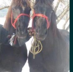 Vand 3 cai cu varsta de 3-4 ani