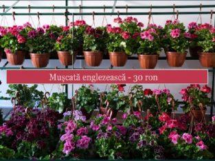 Flori de grădină de vânzare – cu livrare în Cluj-Napoca