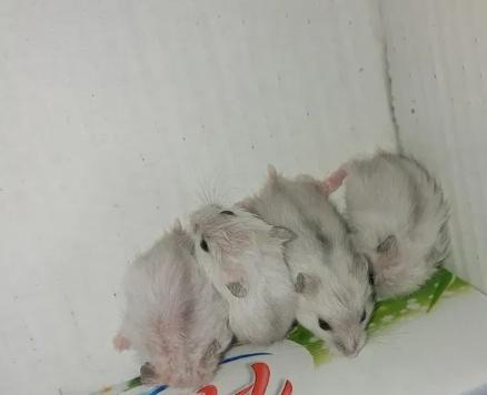Vand hamsteri siberieni pitici