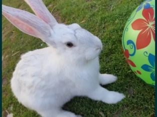 Vând iepuri diferite rase