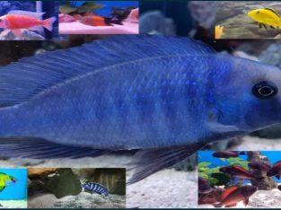 Ciclide africane ,pesti acvariu