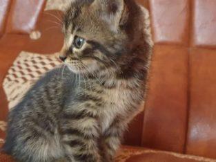 Donez 4 pui de pisică