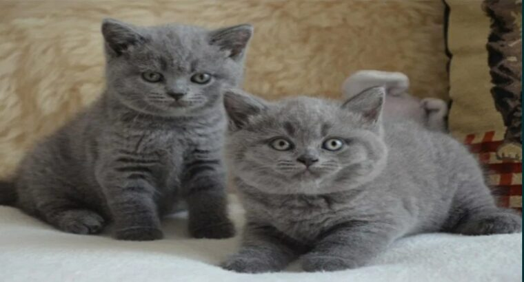 Pisicute British Shorthair Bleu&Silver Tabby