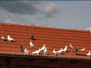 Porumbei de vanzare