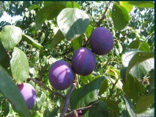 Pruni viguroși din soiul grasă românească pentru țuică, compot, magiun