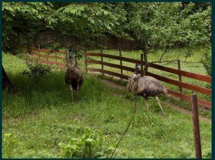 Struti Emu de vanzare