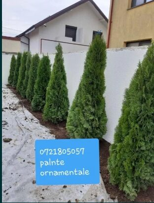 Plante ornamentale: tuia smarald/spirala/pomi pon/mesteacăn/magnoli/