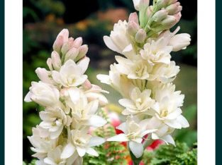 Bulbi tuberoze albe
