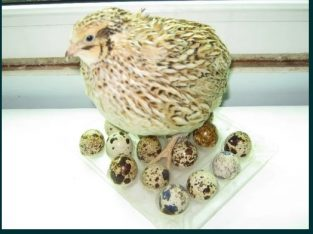Furaje si premixuri pentru hrana prepelitelor / pui si mature