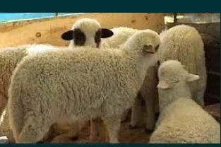 Vand oi și miei