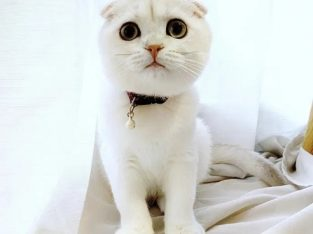 Pui de Scottish Fold