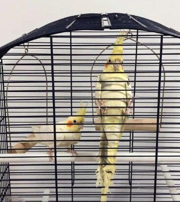 2 Papagali NIMFE + Colivie