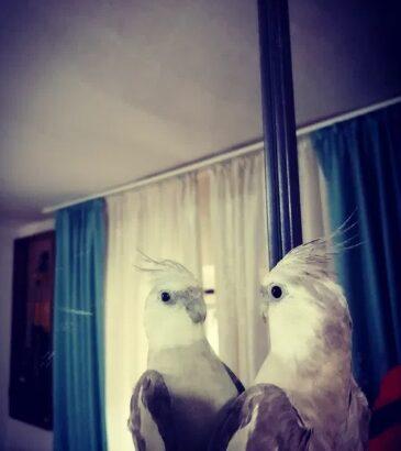 Papagal Nimfa Mascul