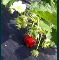 Olympia- capsuni cu fructe mari
