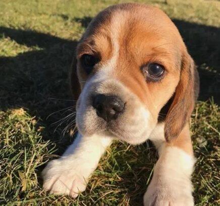 Cățeluși beagle