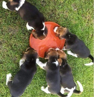 Beagle tricolori
