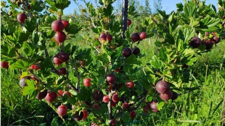 Fructe – agrise coacaze