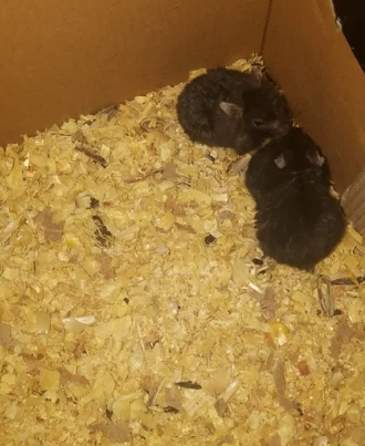 Vând pui hamsteri siberieni