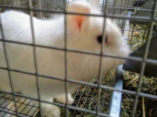 Vând iepuri pitici și alte rase