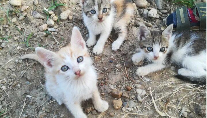 Donez pui de pisica