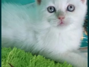 Pisica scottish