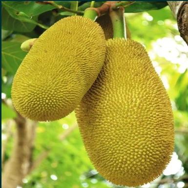Jackfruit – pom fructifer exotic