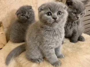 Pui scottish fold si british shorthair cu pedigree