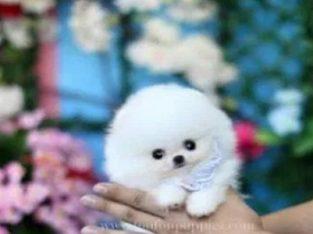 Pomeranian Micro Kenel