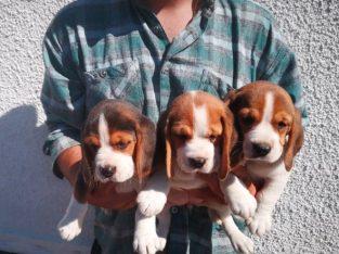 Cei mai frumoși cățeluși beagle