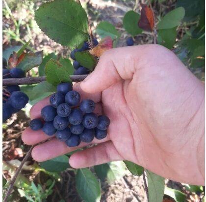 Aronia fructe