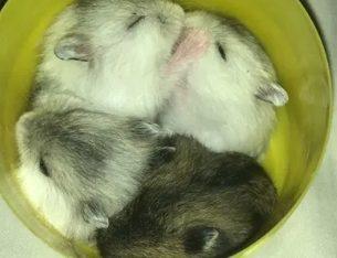 Vând pui de hamster
