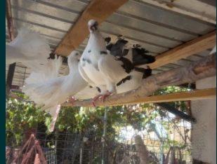 Porumbei de vânzare