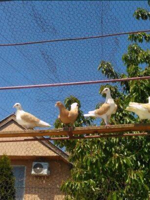 Porumbei voiajor capaciti ornament