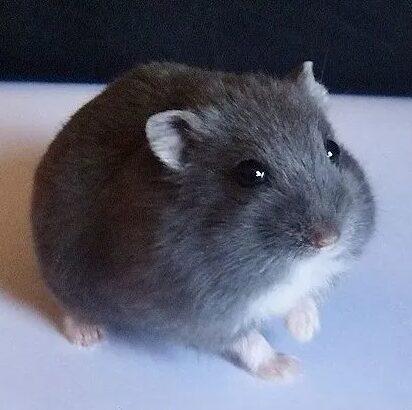 Hamster siberian pitic