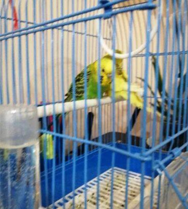 Vând Papagali Perusi