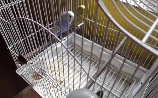 Papagali(Peruși)