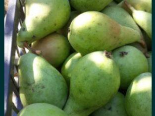 Pere fructe romanesti oradea