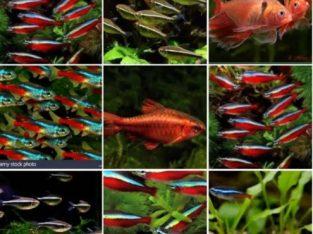 Pesti de acvariu; Neon Rosu , Galben , Inessi , si Negru