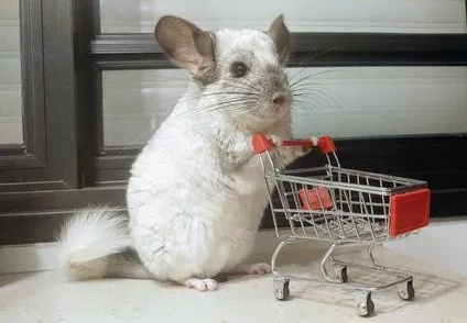 Pui de chinchilla sinsila chinchila cincila