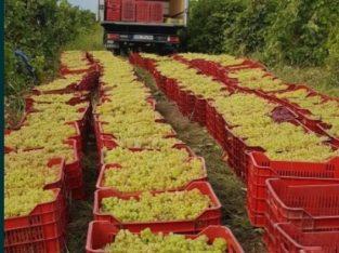 Producator vand strunguri de vin calitatea l din cele mai alse soiuri