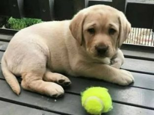 Labrador accept consult veterinar părinți cu pedigree tip A