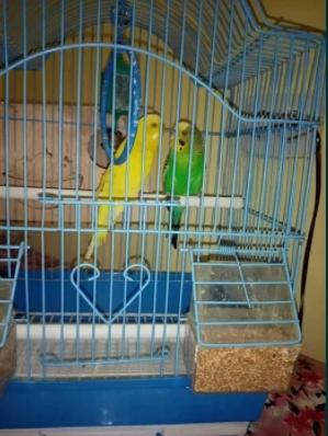 Ex.iphone papagali