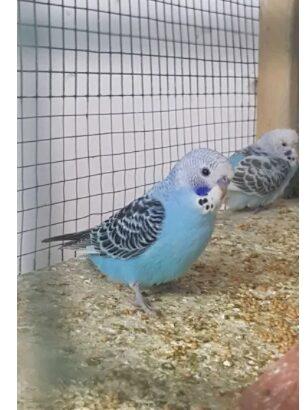 Papagali perusi en-gross