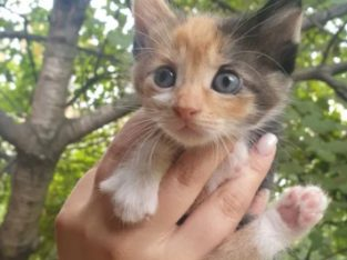 Pui de pisică spre adopție – Roman / București