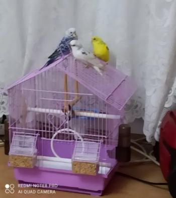Vand Papagali perusi 2 Fete si un Baeat + colvie