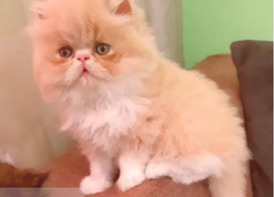 Pisică persană originală