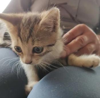 Pisicute 2 luni adoptabili