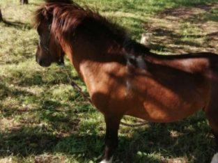 Vând ponei sau schimb cu animale
