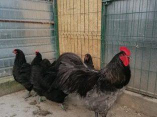 Familie de gaini rasa Australorp la schimb